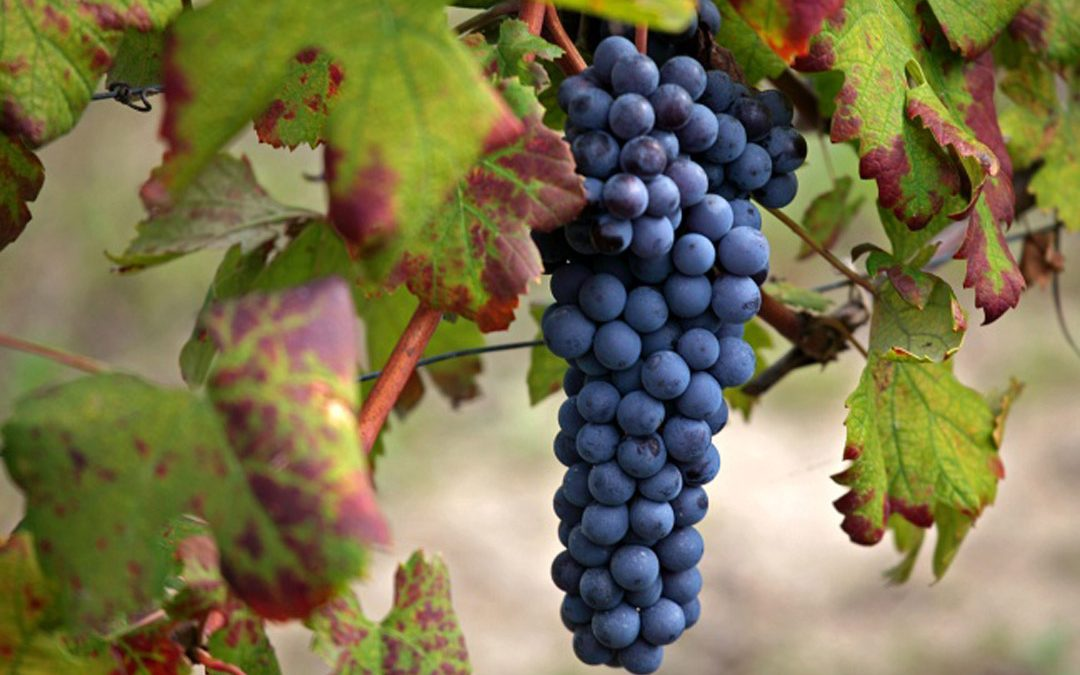Nebbiolo: features and wine produced